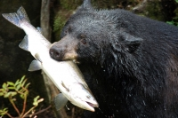 1024px-Black_bear_with_salmon
